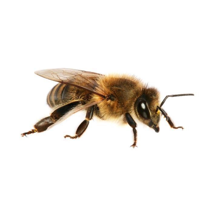Пчелосемьи, пчелопакеты, матки